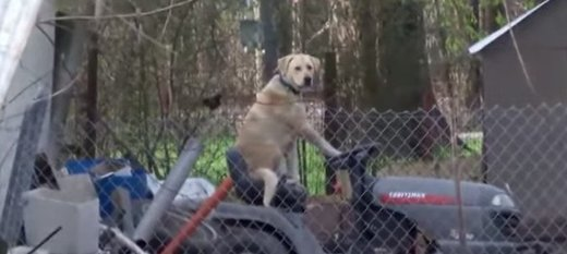 Lovely dog on a lawn mower