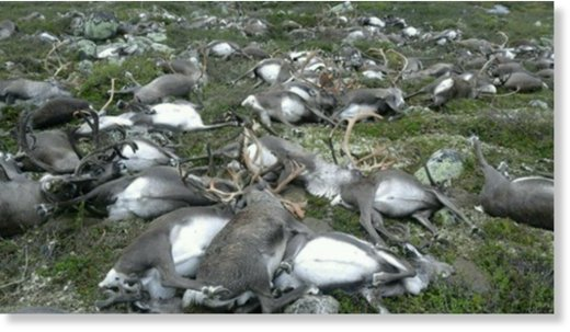 reindeer killed by lightning norway