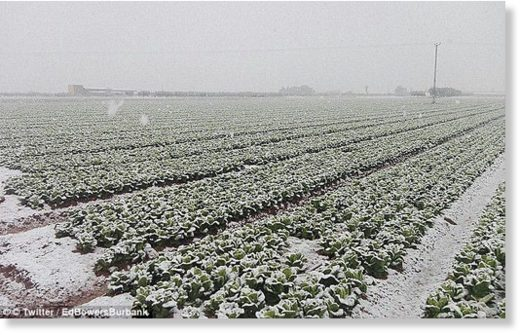 Poking out of the rock-hard ground and covered in snow, these Spanish vegetables haven't made it to our supermarket shelves