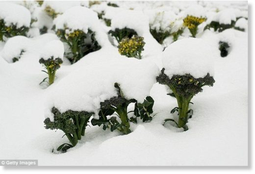 Stunning pictures from Murcia in southern Spain capture the scale of the problem as whole fields of broccoli and lettuce lie buried in snow