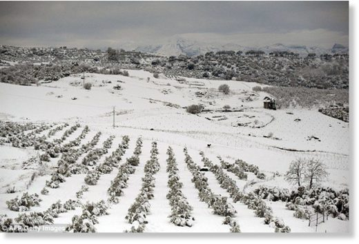 Heavy snow in Spain has severely limited the supply of broccoli. Pictured: A field in Ronda