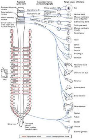 Yoga spine vagus nerve parasmypathetic nervous system