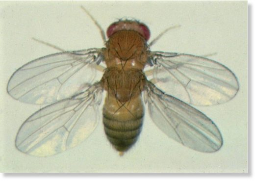4 wing fruit fly